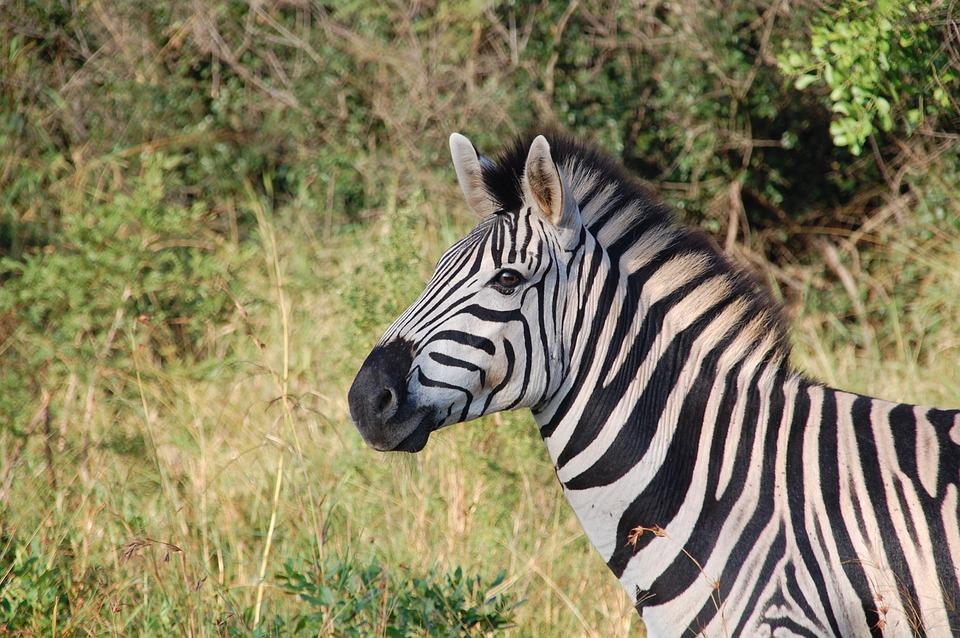 Zèbre - Kruger National Park