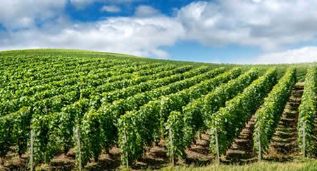 Le vignoble de Champagne en camping dans la Marne